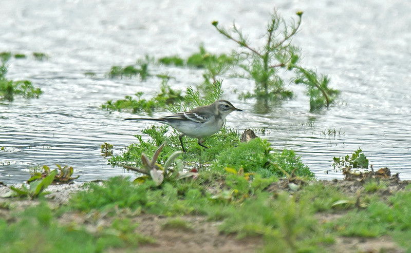 Citrine Wagtail 1 Seaforth August 2011