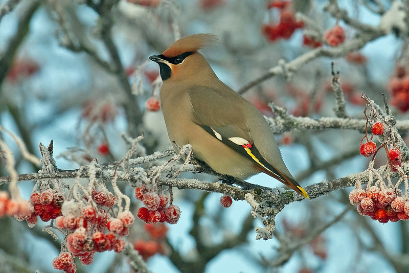 Waxwing 1 Liverpool December 2010