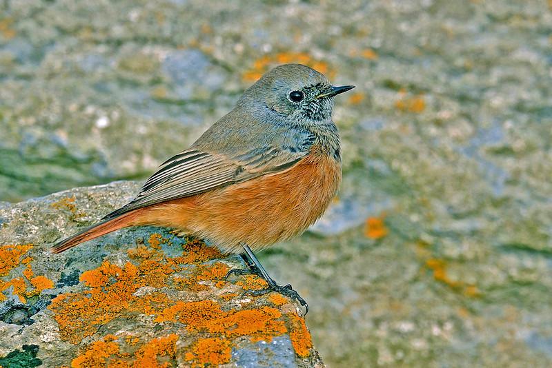 Eastern Black Redstart 1 Holy Island November 2011