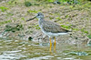 Greater Yellowlegs 3 Hauxley November 2011