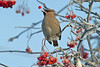 Waxwing 2 Liverpool December 2010