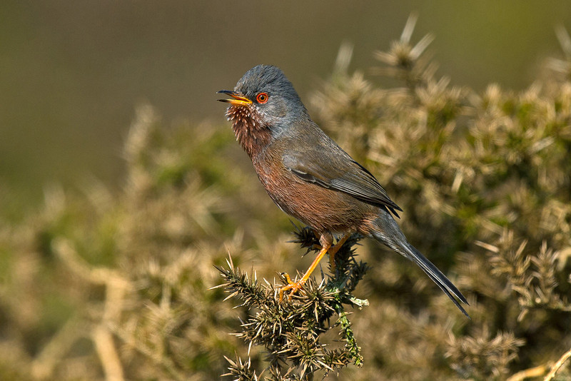 Dartford Warbler World's End April 2011