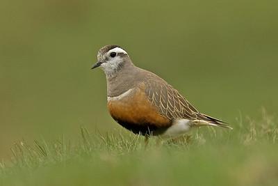 Bird Photos: Waders/Shorebirds