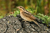 Wryneck Seaforth September 2008