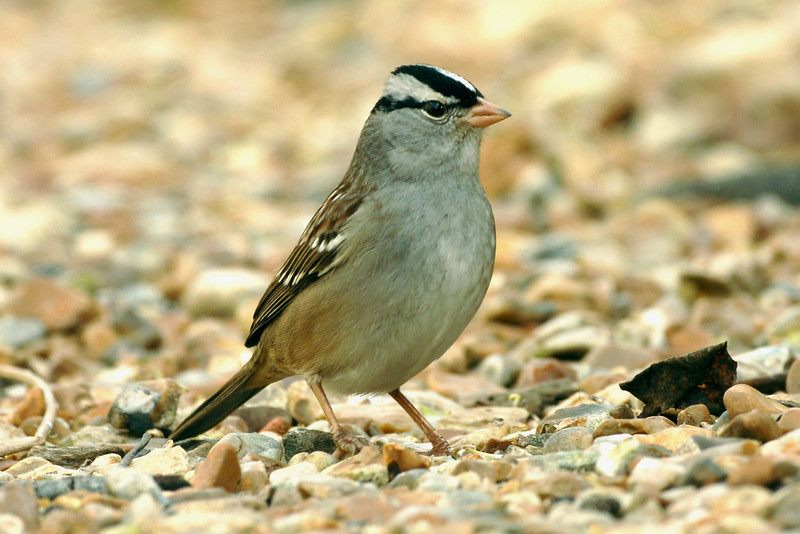 White-crowned Sparrow 1 Cley January 2008