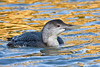 White-billed Diver 3 Hayle March 2007