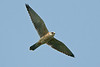 Red-footed Falcon Pugney's CP May 2008