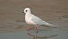 Ross's Gull 9 Fairhaven April 2008