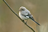 Steppe Grey Shrike 1 Grainthorpe November 2008