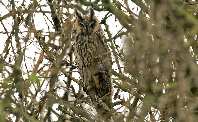 Long-eared Owl Marton Mere March 2009