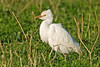 Cattle Egret Downholland Moss November 2008