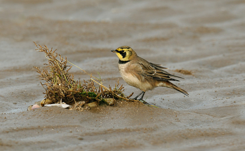 Shore Lark 2 Southport November 2009