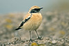 Desert Wheatear Towyn November 2007