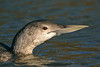 White-billed Diver 2 Hayle March 2007