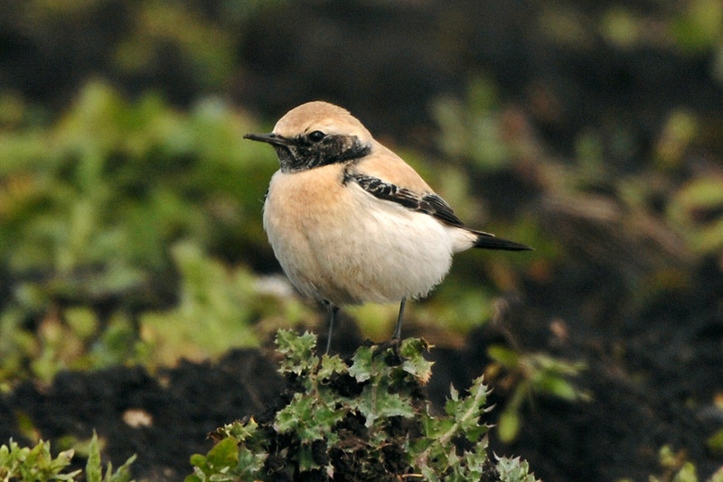 Desert Wheatear Irlam March 2007