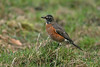 American Robin Bingley January 2007