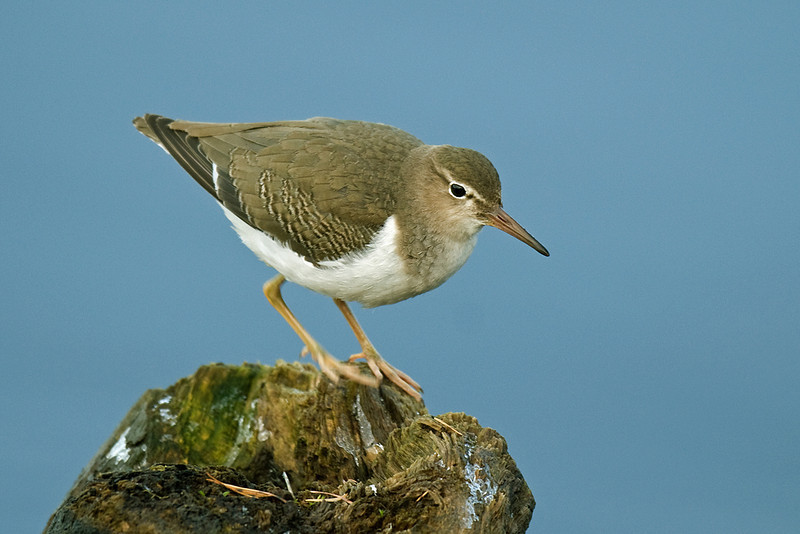 Spotted Sandpiper  Tittesworth Res November 2008