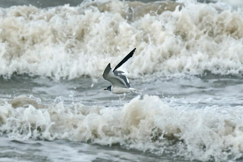 Sabine's Gull 2 New Brighton September 2009