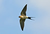 Red-rumped Swallow Leasowe May 2008