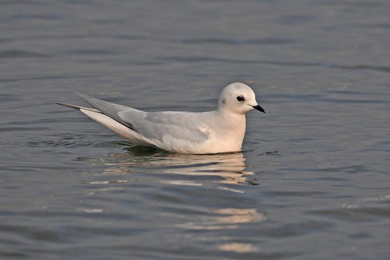 Ross's Gull 1 Marton Mere 2008