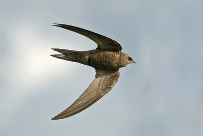 Bird Photos: Swallows, Martins and Swifts