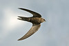 Pallid Swift 1 Seaforth May 2009