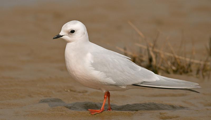 Ross's Gull 5 Fairhaven April 2008