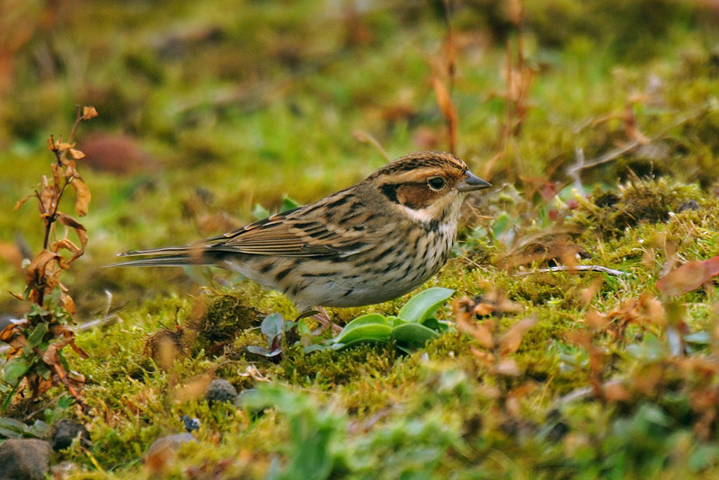 Little Bunting Seaforth October 2009