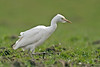 Cattle Egret Eccleston April 2008
