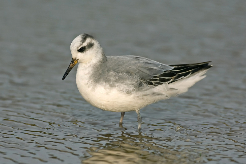 Grey Phalarope Waxham January 2008