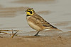 Shore Lark 1 Southport November 2009