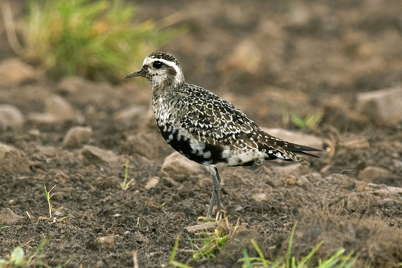 American Golden Plover Orkney September 2009