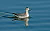 Grey Phalarope 4 Crosby November 2009