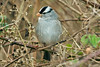 White-crowned Sparrow 2 Cley January 2008