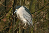 Night Heron Mere Sands Wood April 2008