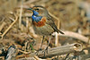 Bluethroat Lune Estuary April 2008