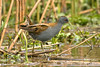 Little Crake Exminster April 2008