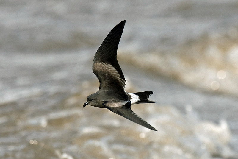 Leach's Petrel Leasowe October 2008