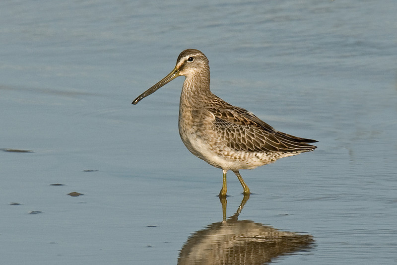 Long-billed Dowitcher 2 Inner Marsh Farm September 2009