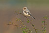 Steppe Grey Shrike 3 Grainthorpe November 2008