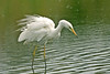 Great White Egret 2 Leighton Moss September 2007