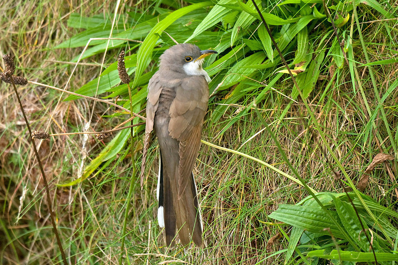 Yellow-billed Cuckoo Orkney September 2009