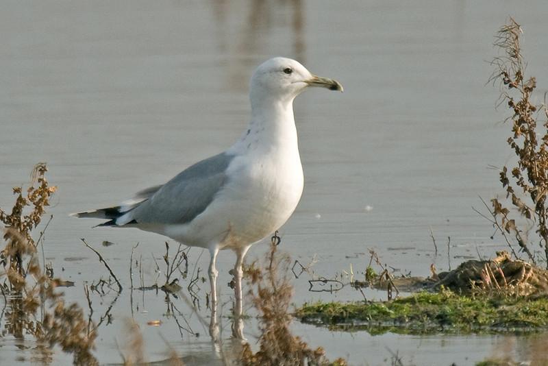 Caspian Gull Potteric Carr January 2009
