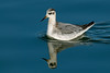 Grey Phalarope 1 Crosby November 2009