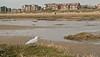 Ross's Gull 4 Fairhaven April 2008