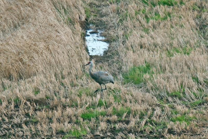 Sandhill Crane Orkney September 2009