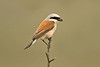 Red-backed Shrike Spurn May 2008