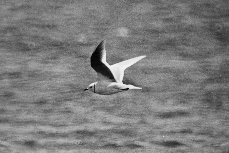 Ross's Gull Titchwell a 1984 - the bird that got me hooked on rarities...