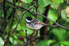 Blackpoll Warbler 2 Seaforth 2000