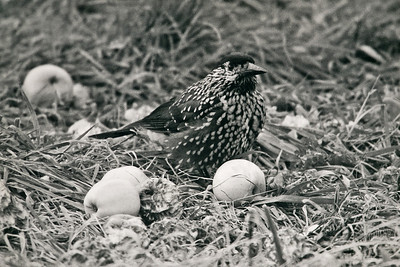 UK Rare/Scare Birds: Looking Back...Some Oldies...